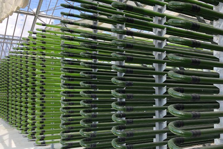 Aus der Glasröhre auf den Teller: Algen als Lebensmittel