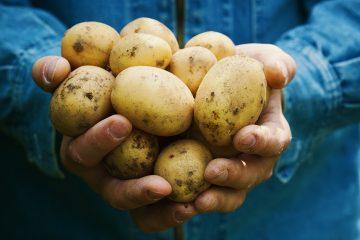 Bauer hält Kartoffeln in der Hand