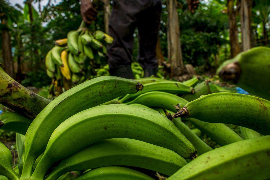 Frisch geerntete Bananen