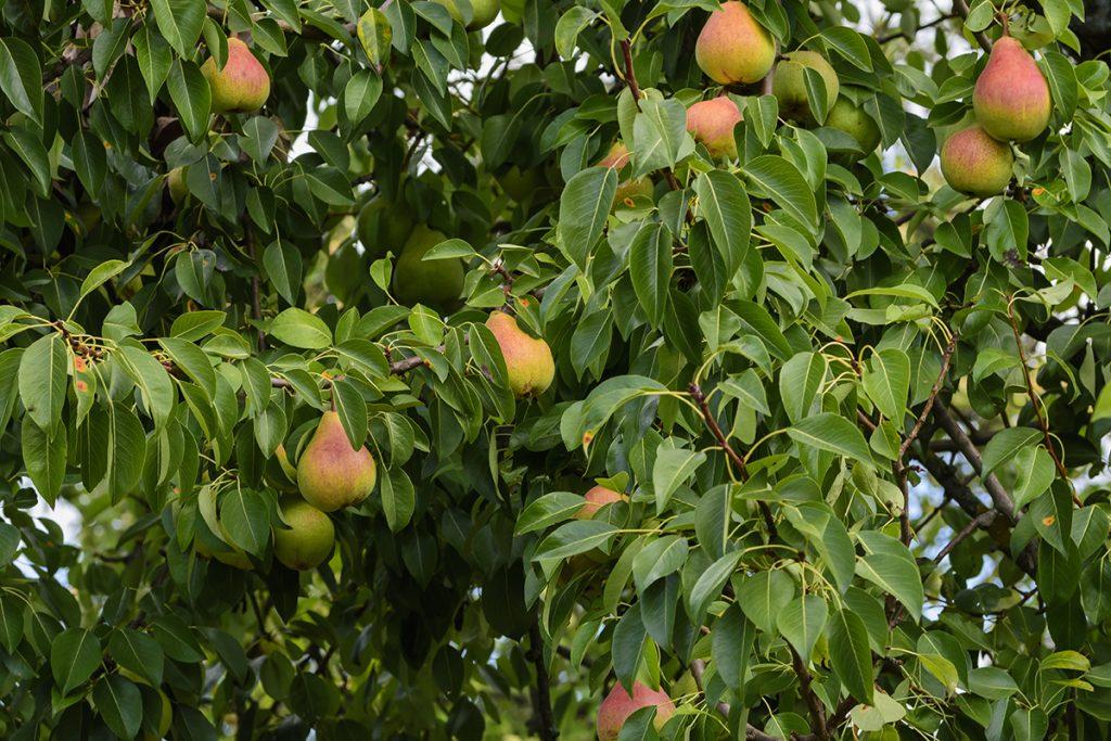 Birnenbaum mit reifen Birnen