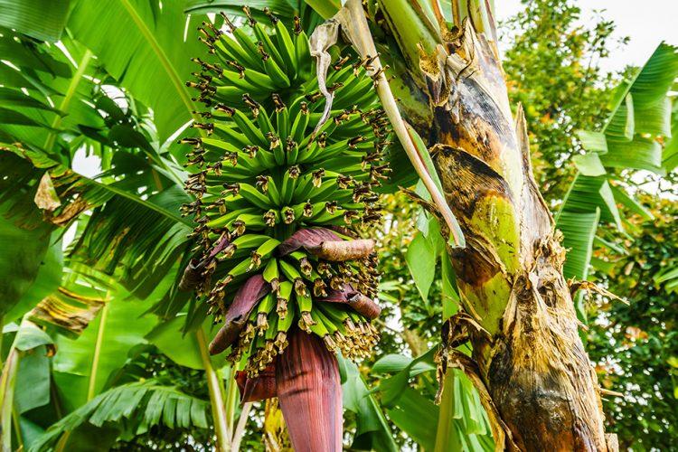 Pflanzenkrankheiten bei Bananen und Oliven: Wenn Erreger auf Reisen gehen