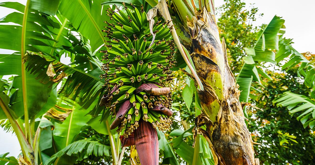Bananenpflanze mit Früchten