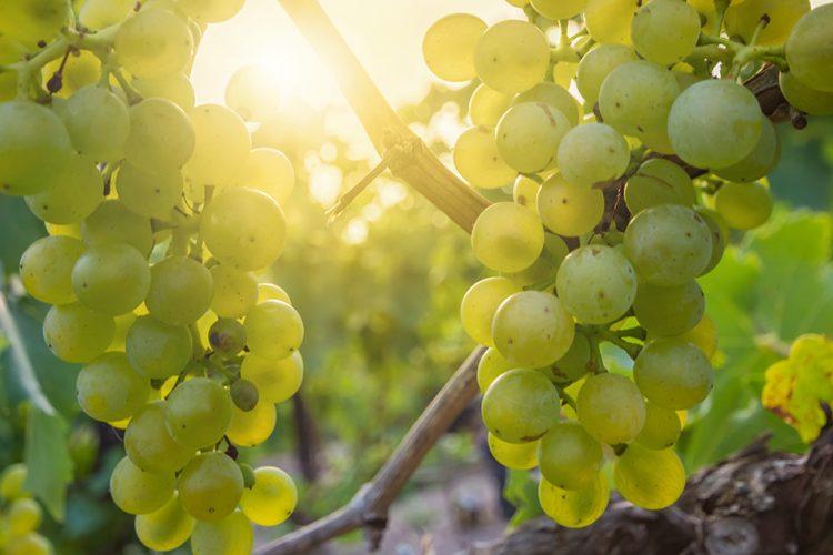 (Weiß)herbst in Saale-Unstrut: Die Weinlese hat begonnen