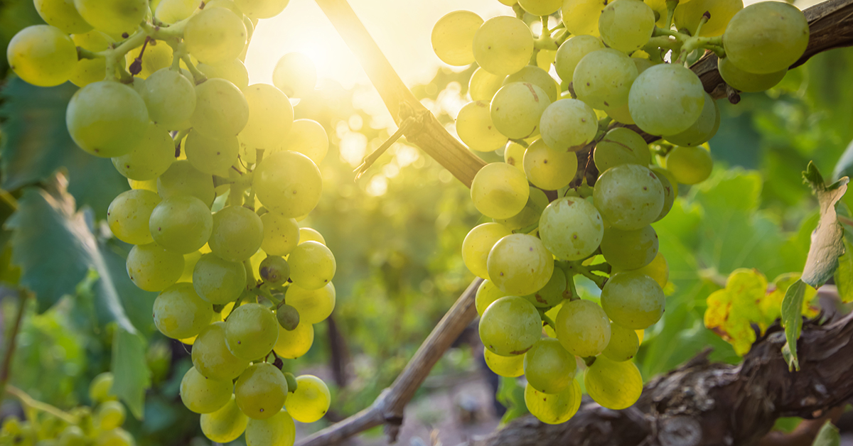 Erntereife Weintrauben in der Region Saale-Unstrut