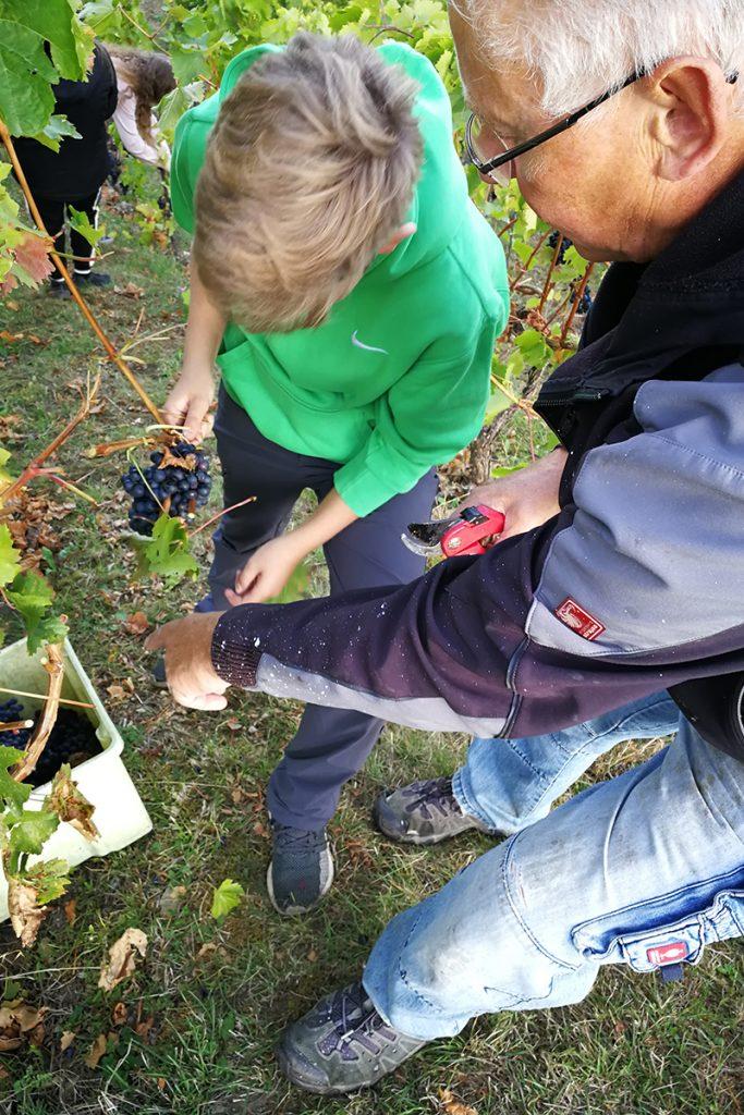 Lehrer und Schüler bei der Weinlese