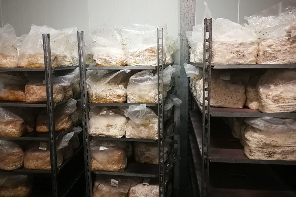 Auf der Pilzfarm wachsen die Pilze  auf Substrat in kühlen Kammern