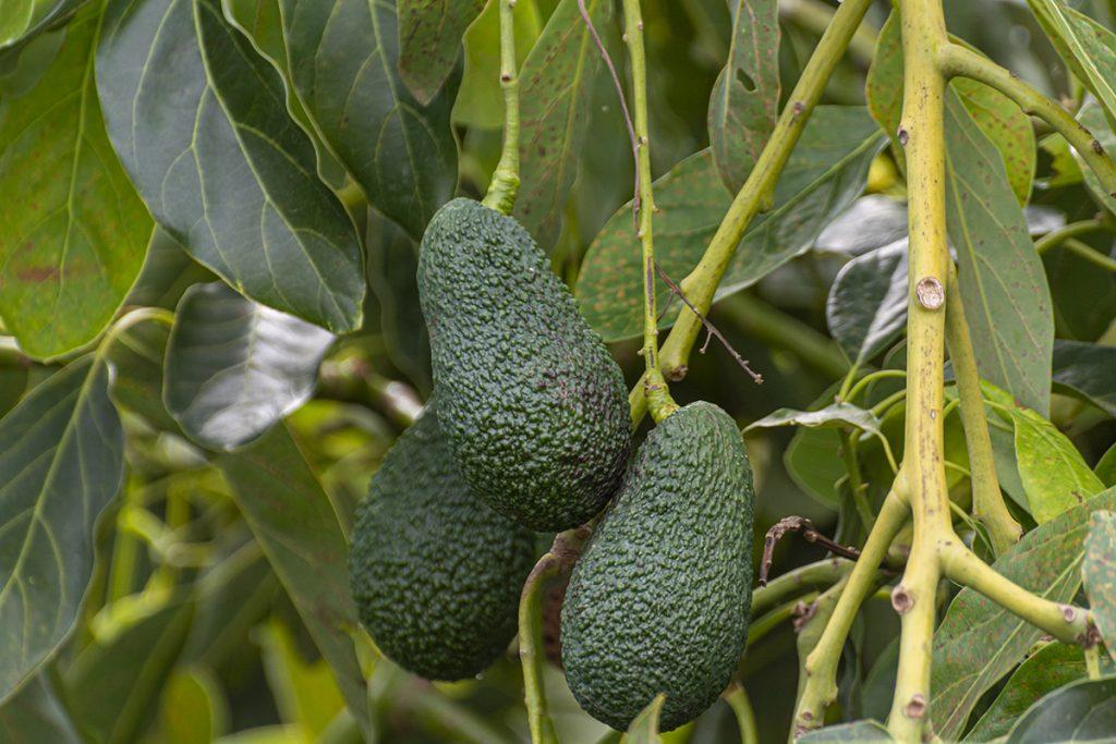 """Avocados der Sorte """"Hass"""" am Baum"""