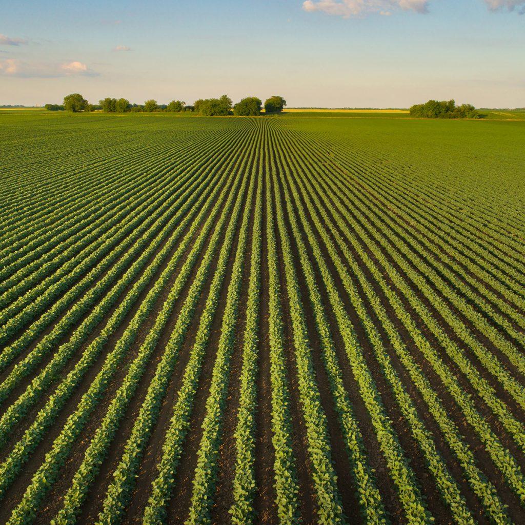 Ein Feld mit Sojabohnen