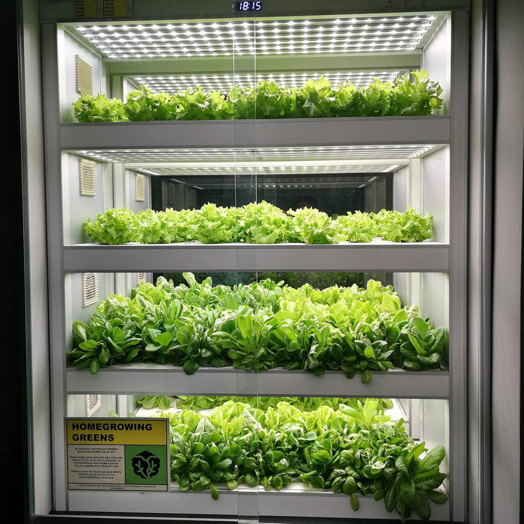 Salat in der Hydroponik-Farm