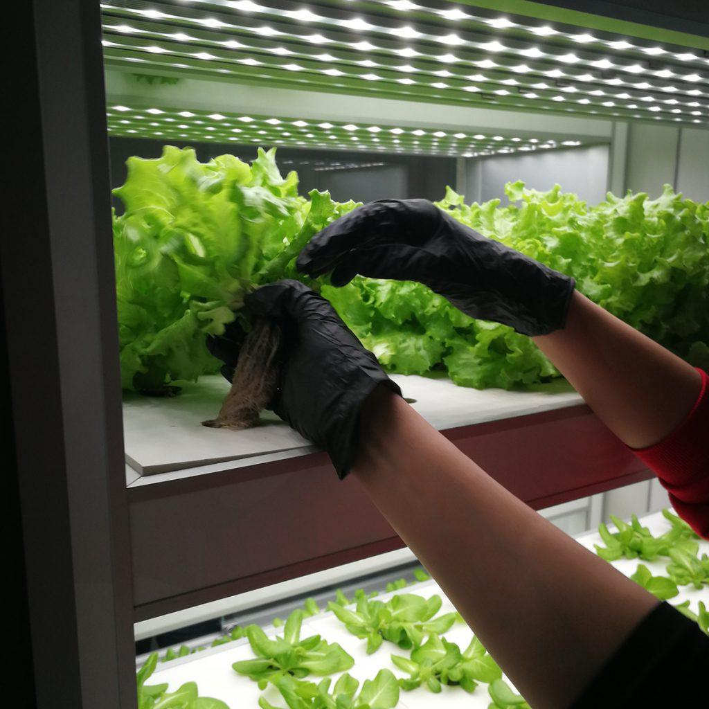 Ernte von Salat in der Hydroponik-Farm