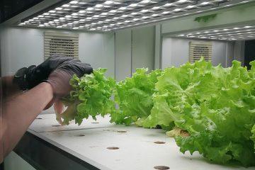 Salat aus Hydrokultur.