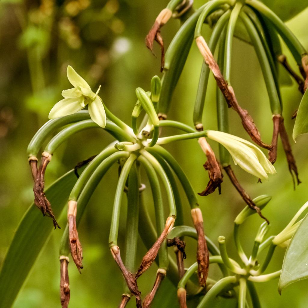 Blühende Bourbon-Vanille