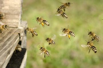 Honigbienen auf dem Weg in den Bienenstock