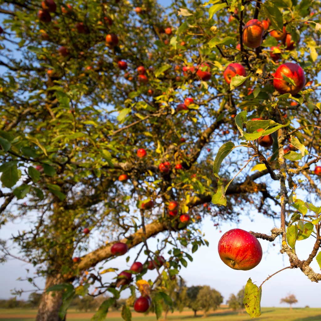 Äpfel am Baum auf einer Streuobstwiese