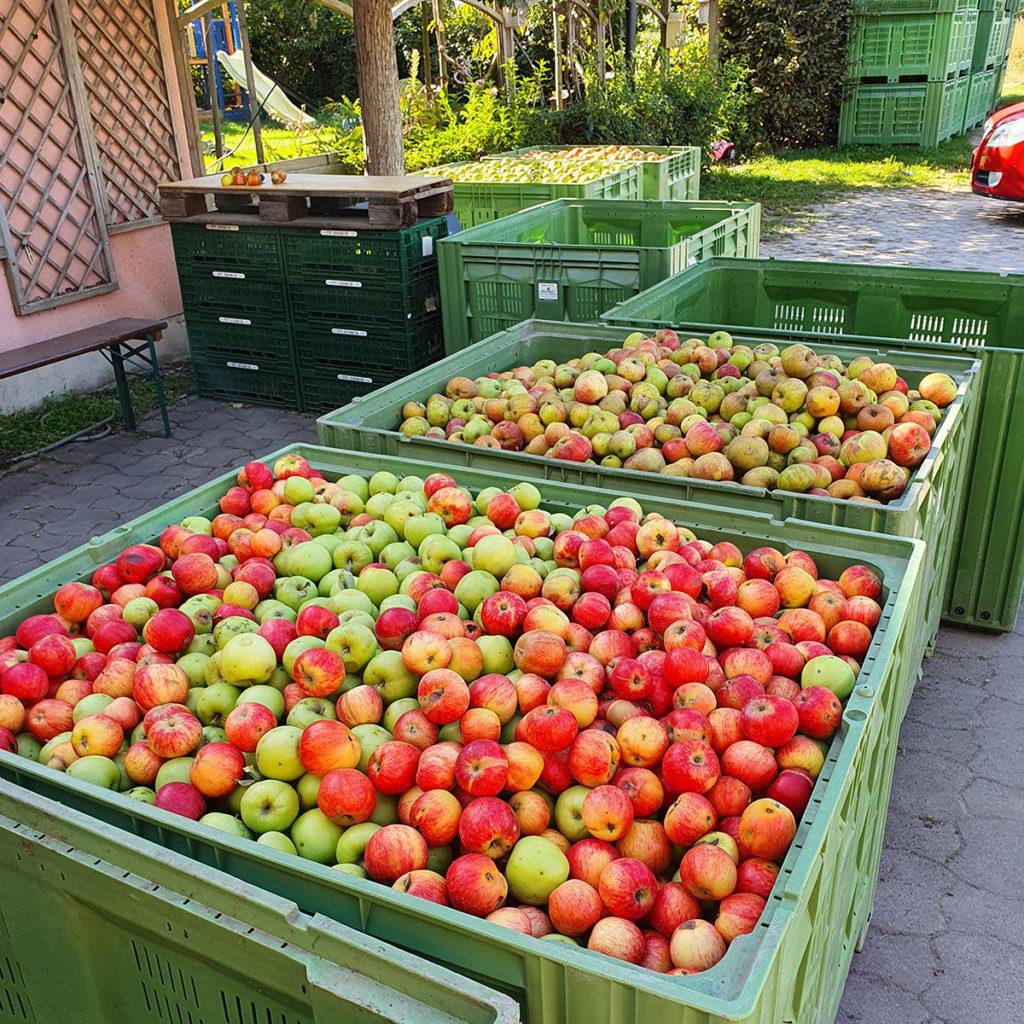 Geerntete reife Äpfel auf dem Obsthof Lindicke.