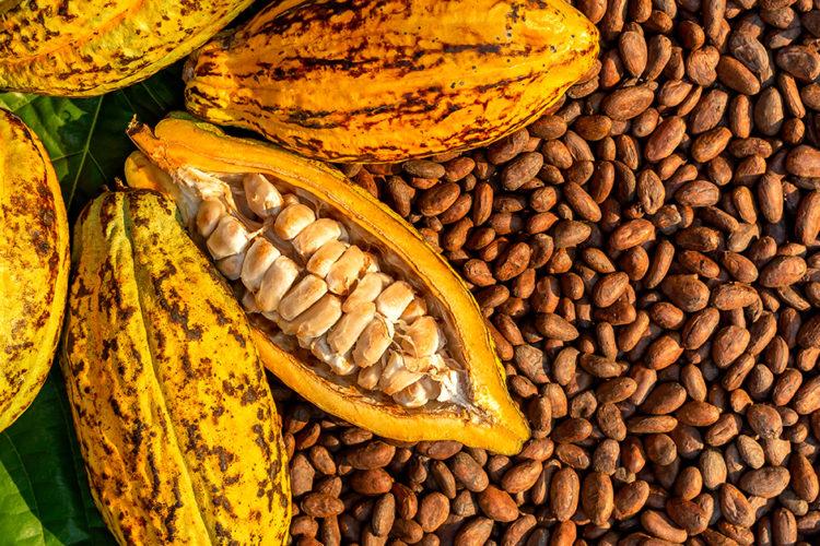 Internationaler Tag Kakao & Schokolade: In Westafrika beginnt die Kakaoernte