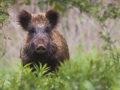 Ein Wildschwein im Wald