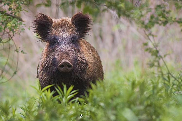 Afrikanische Schweinepest in Deutschland: Ist Schweinefleisch jetzt noch sicher?