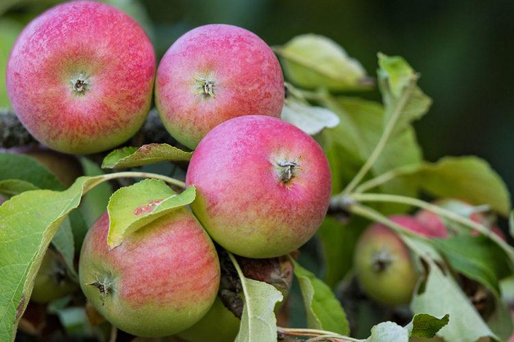 Nicht weit vom Stamm: Äpfel aus Werder