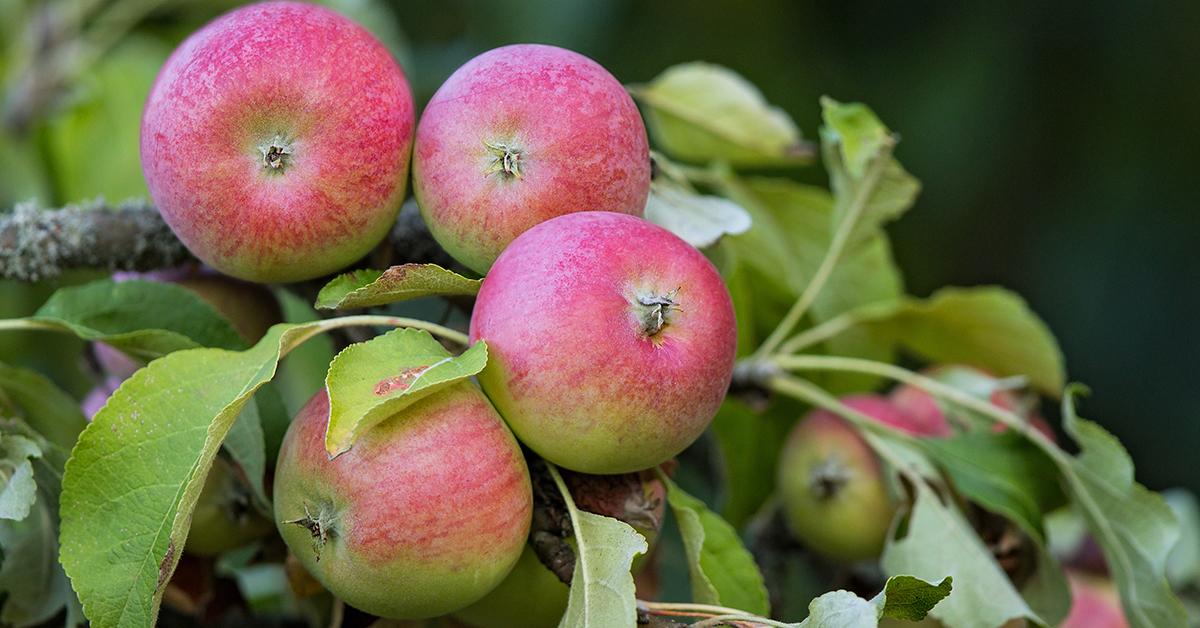 Reife Äpfel in Brandenburg