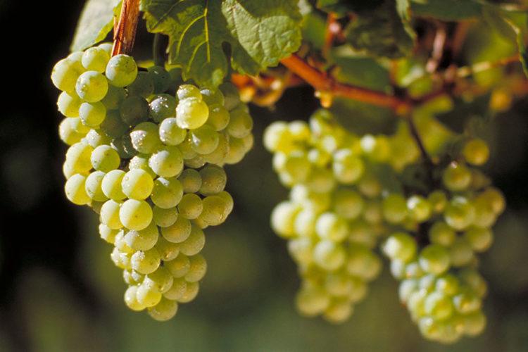Burgunderwunder im Rieslingland: Deutscher Wein in seinen Facetten