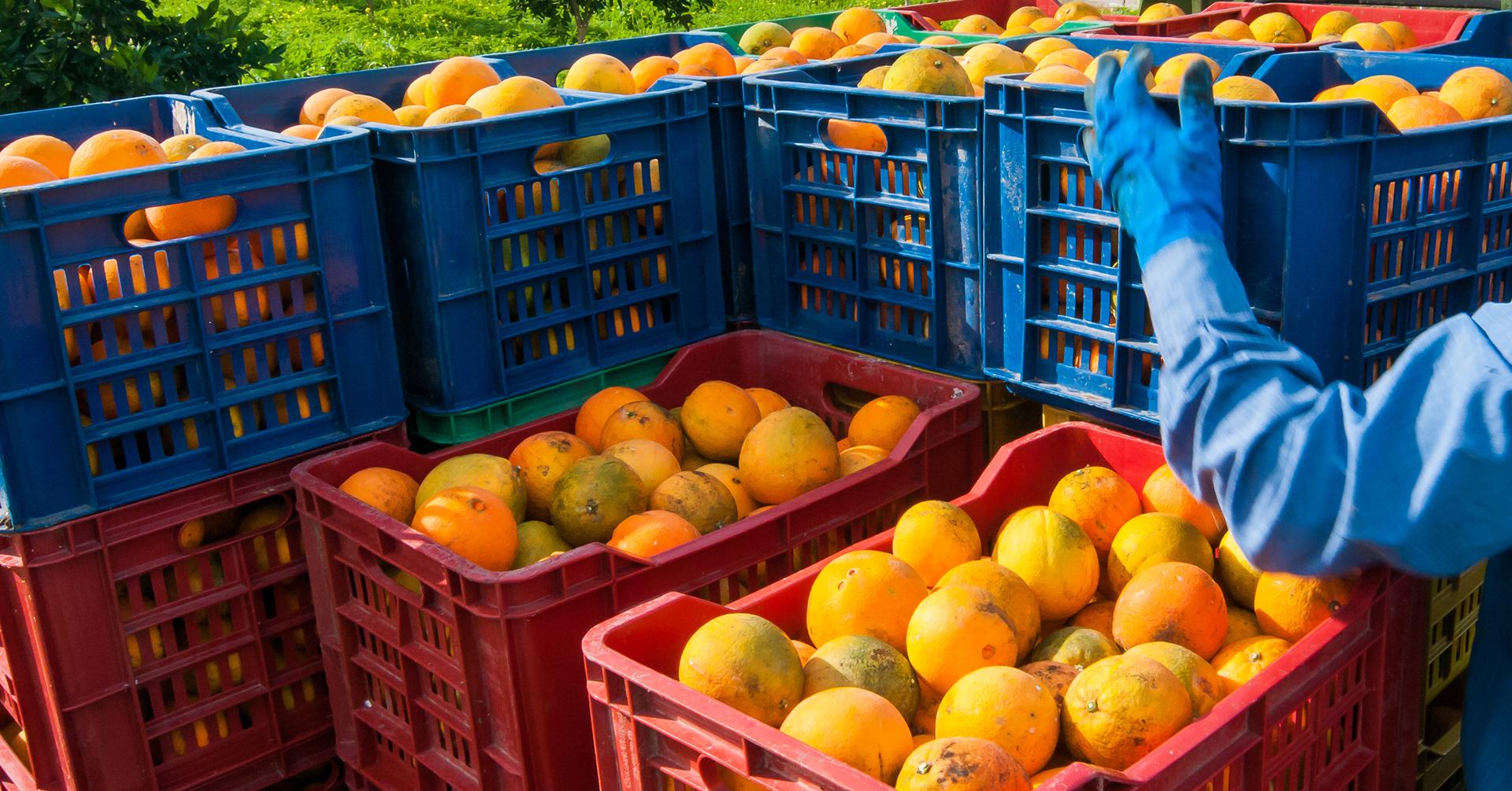 Frisch geerntete Zitrusfrüchte in Kisten.