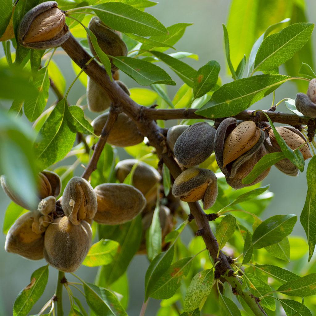 Reife Mandeln am Baum.